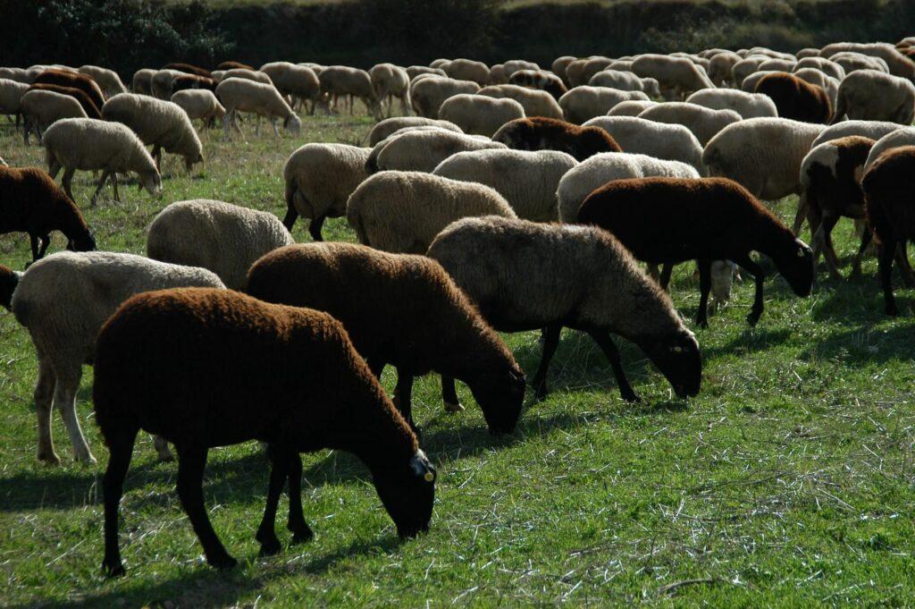 Las ovejas se alimentan de la hierba que crece en la explotación de Emilio Barco en Alcanadre (La Rioja)