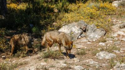 Lobos en el Centro del Lobo Ibérico de Zamora