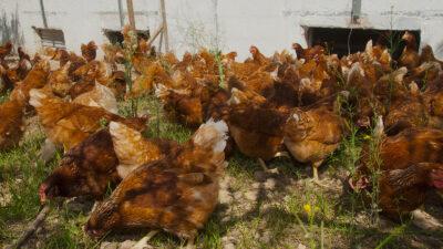 Gallinas en un gallinero