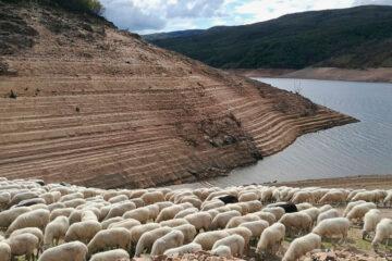 Unas ovejas tratan de pastar en un pantano en situación de sequía.