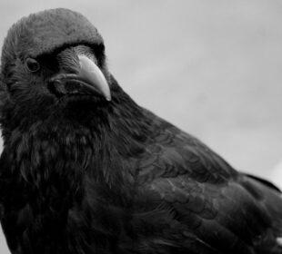 Raven. La Pulgarcita Cuervo. Creative commons