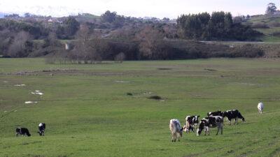 Vacas de leche pastando