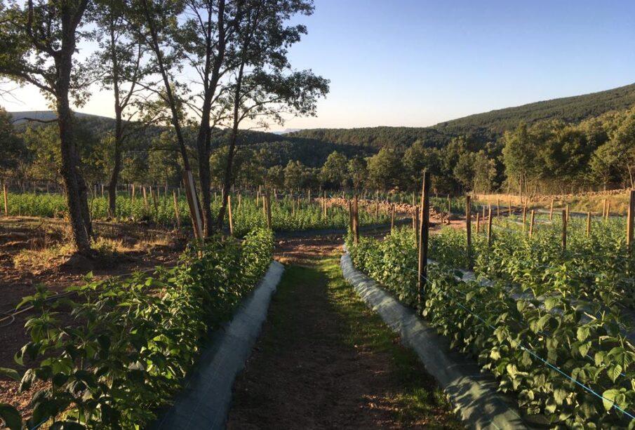 Cultivo de frambuesas en El Royo (Soria)