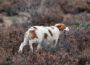 La perra Roma, paseando por el campo.