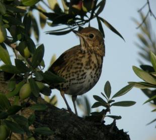 Zorzal común, una de las especies afectadas por la recolección nocturna en olivares en seto ©JLMR-Olivares Vivos