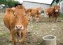 Vacas en una explotación en Ourense.