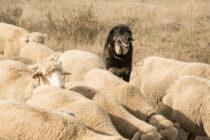 Perro pastor. Foto: El Diario Rural