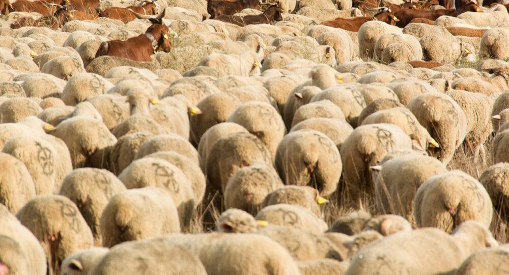 Un rebaño de ovejas, en la provincia de Palencia.