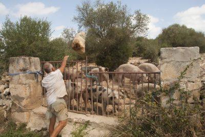 Un ganadero arroja unas barras de pan duro para alimentar a sus cerdos, en Menorca. Foto: EDR