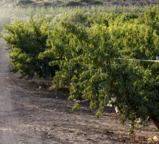 Explotación de fruta de hueso en la provincia de Teruel. Autor: Joaquín Terán.