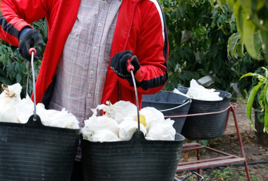 Trabajadores recogiendo fruta en Zaragoza. Foto: EDR.