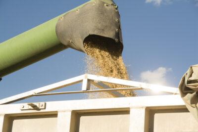 Cereal saliendo de la tolva de la cosechadora, en Anchuelo (Madrid). Foto: EDR
