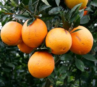 Naranjas. Foto: Joaquín Terán.