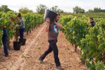 Un viticultor, vendimiando sus viñas en la Ribera del Duero. Foto: EDR.