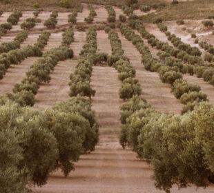 Un gran olivar, en Córdoba.