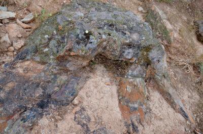 Tamaño del tronco comparado con una moneda de un euro. Los expoliadores han cortado parte de sus raíces. Foto: Jenaro Iritia.
