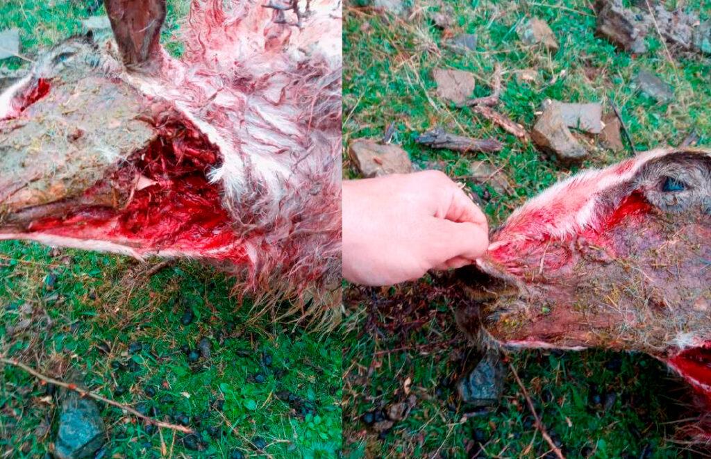 Fotografías del último ataque sufrido por el ganadero Borja Elías, de Villoslada de Cameros.