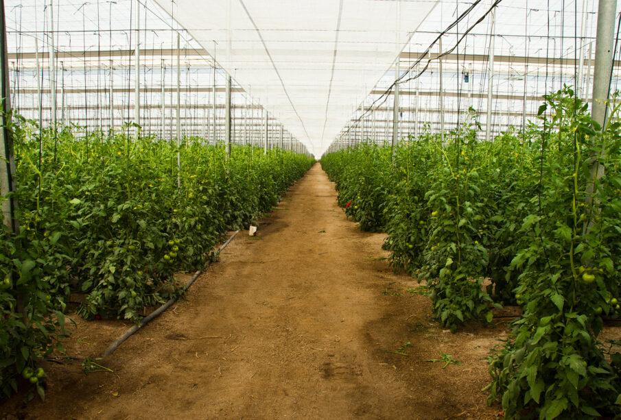 Invernadero de tomate en Almería.