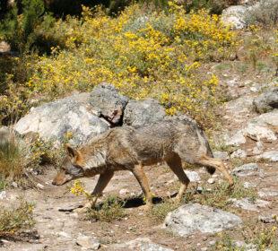Un lobo, en el Centro del Lobo Ibérico de CyL - Félix Rodríguez de la Fuente