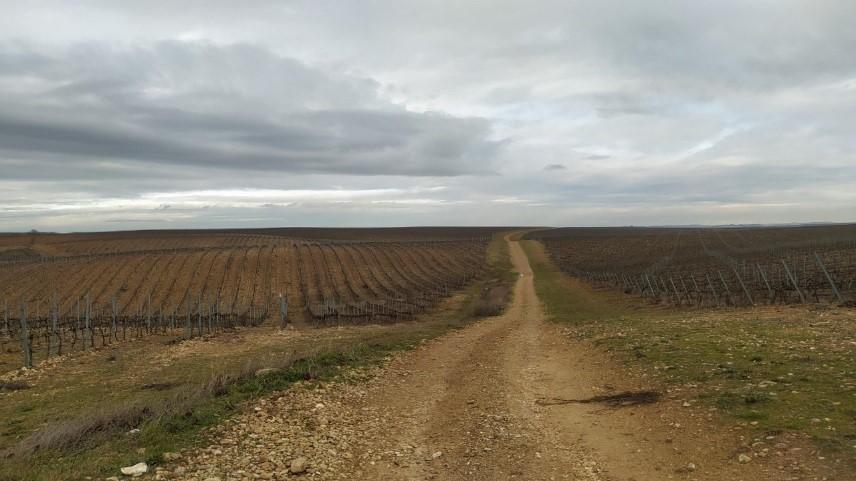 Plantación moderna de viñedo en La Rioja.