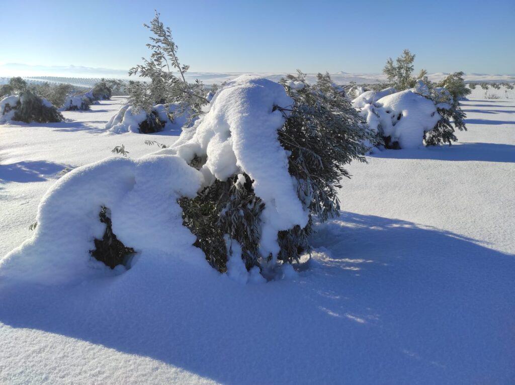 Olivos aplastados por la nieve. Foto: Unión de Uniones.