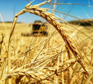 Un campo de cereales y una cosechadora. Autor: Tractorista de Castilla.