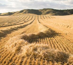 Una parcela de cereal, recién cosechada, en Madrid.