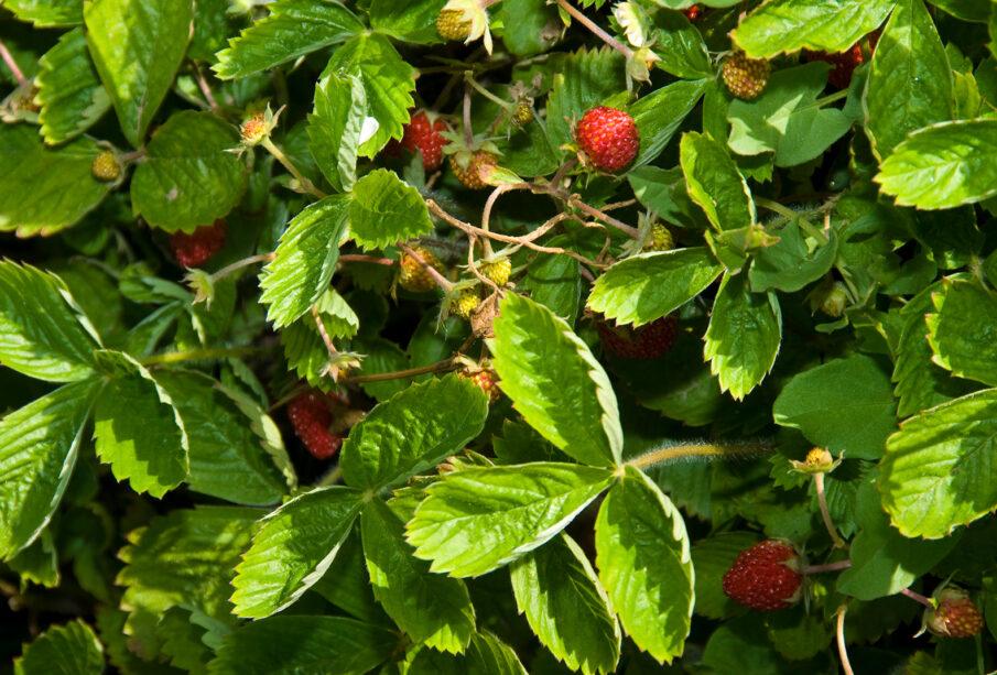 Fresas de Aranjuez ecológicas