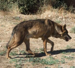 Un lobo, fotografiado en cautividad en un centro de fauna en Madrid.