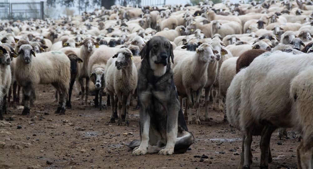 Un mastín con sus ovejas.