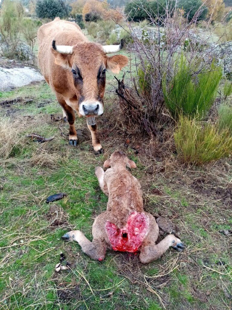 Un ternero atacado por un meloncillo.