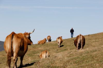 Un ganadero con sus vacas en el puerto de Leitariegos (Asturias), una de las zonas con mayor presencia de lobos.