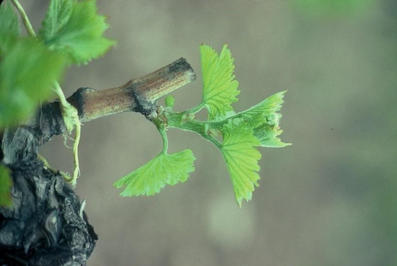 Brote de una viña. Emilio Barco