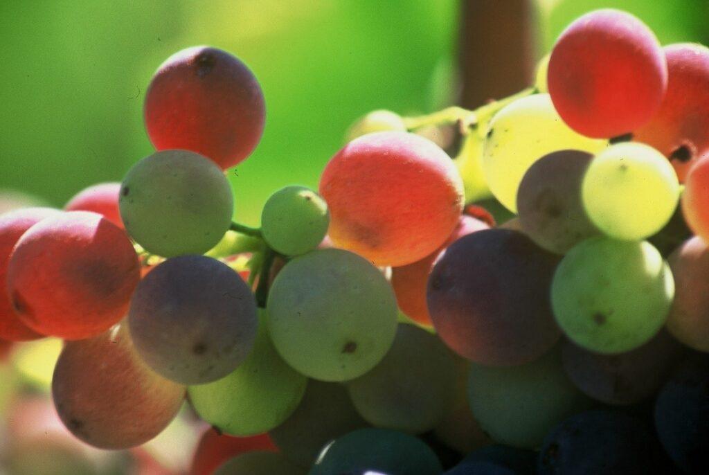 Envero de las uvas. Emilio Barco