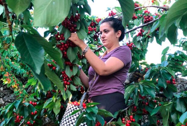 Una mujer recogiendo cerezas en el valle del Jerte. Foto: FADEMUR