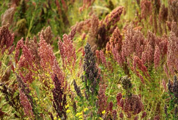 Cultivo de quinoa en Ecuador. Autor: Rene Leubert. Flickr