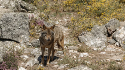 Lobo ibérico, en el Centro del Lobo Ibérico de Zamora.