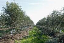 Un olivar intensivo con cubierta vegetal, una de las prácticas recomendadas para mitigar el cambio climático y la erosión.