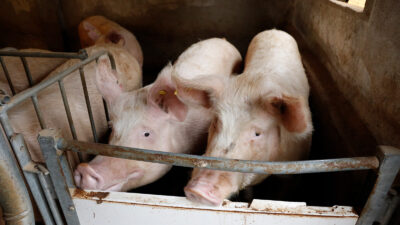 Dos cerdos en una granja en Salamanca.