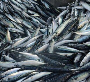 Caballas recién pescadas. Foto: Europeche.