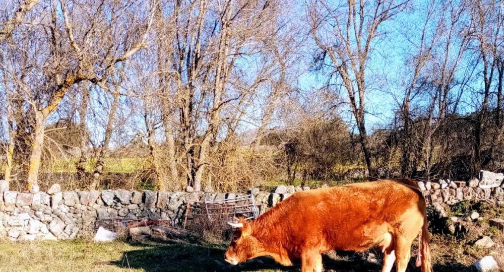 Una vaca con su ternero recién nacido. Autor: JGH.