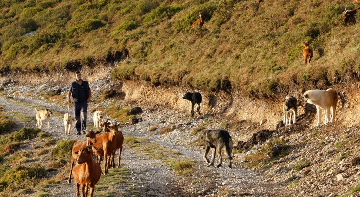 Un joven ganadero asturiano junto a sus cabras y mastines, en zona de lobos. Foto: Joaquín Terán.