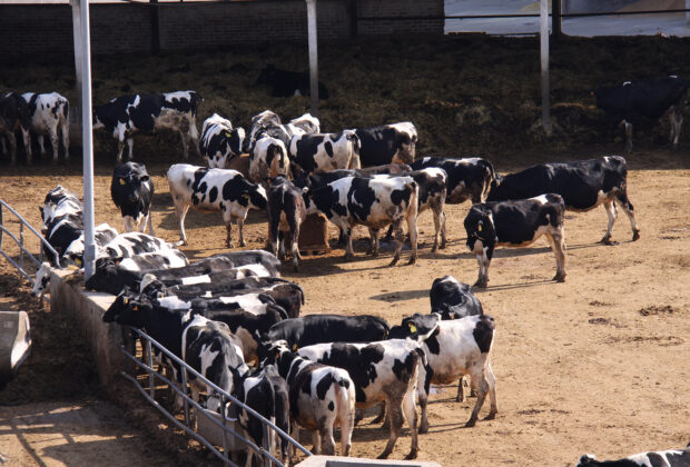 Una granja de vacuno de leche en intensivo. Autor: Joaquín Terán.