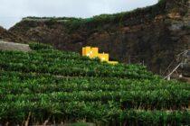 Plátanos en La Palma. Autor: txmx 2 (CC)