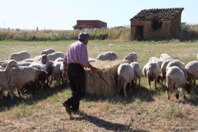 Un hombre mayor junto a un rebaño de ovejas. Autor: Joaquín Terán.