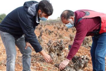 Un joven viticultor mejorando su técnica de poda junto a Andrés Morate, viticultor de Madrid, en su explotación, durante el erasmus agrario de 2020. Foto: Joaquín Terán.