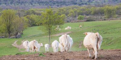 Unas vacas, en el valle de Lozoya (Madrid). Foto: EDR.